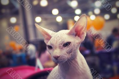 Angry peterbald