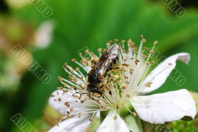bee sitting on blossom blackberry