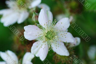 blackberry flowers
