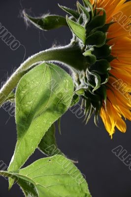 Sunflower in studio 3