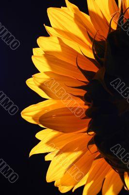 Sunflower in studio 4