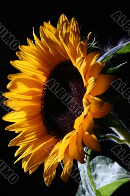 Sunflower in studio 1