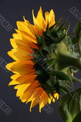 Sunflower in studio 2