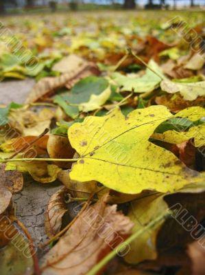 Yellow fallen leaf cover the dark ground