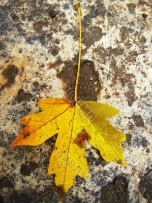 Yellow fallen leaf on the wet ground
