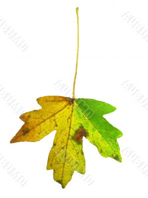 Yellow and green leaf isolated