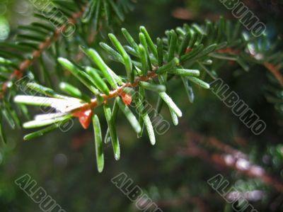 Green pins of the fir branch