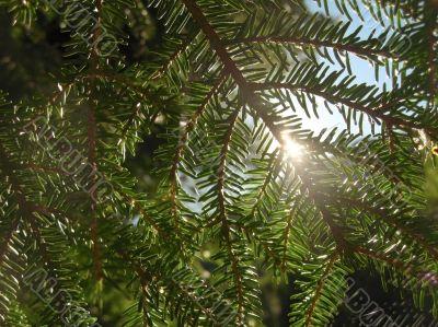 Sun shining through the fir branch and pins