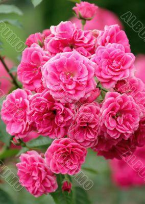 Blooming floribunda