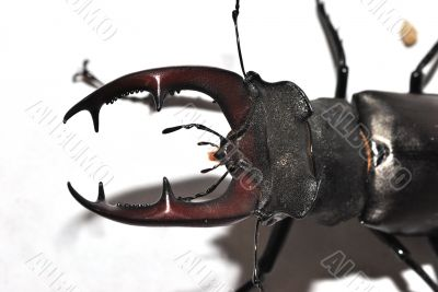 great view stag beetle