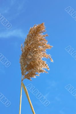 Dried reed inflorescence