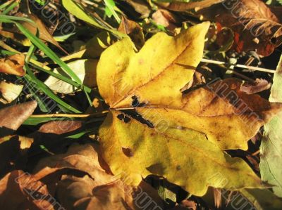 Yellow fallen leaf of acer on the ground