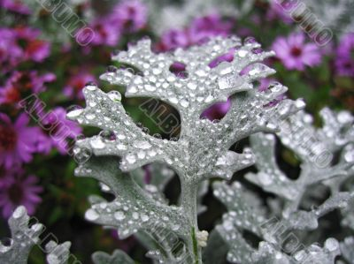Bed of flowers after rain. Cineraria growing.