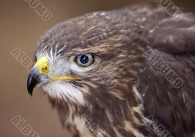 buzzard - detail of the head