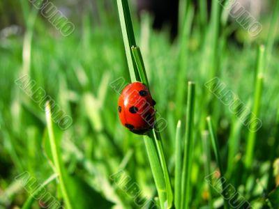 Ladybird in the green grass