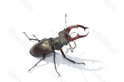 stag beetle white middle