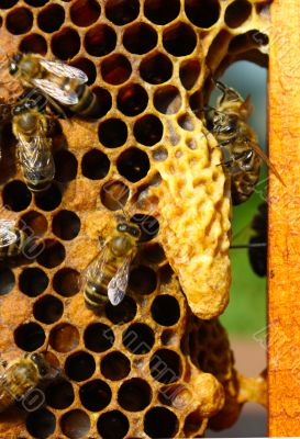 Caring for the larvae of bees and their mistress