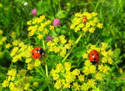 Ladybugs on hemlock or omega
