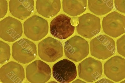 Honeycomb with nectar and pollen