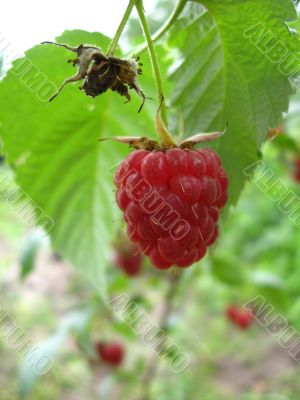 red raspberry is ripe and so useful and very tasty