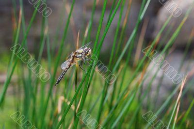 dragonfly sitting on a blade