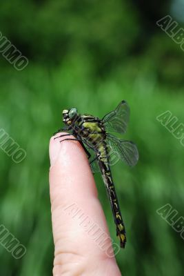 large dragonfly sitting on a finger