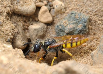 Small solitary wasp