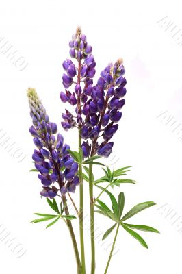 Purple Lupine Flowers On White