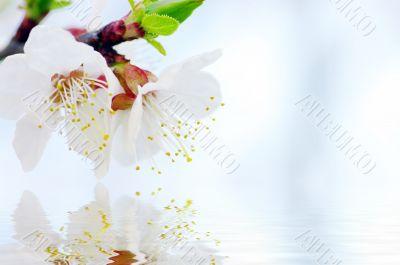 Cherry flowers background