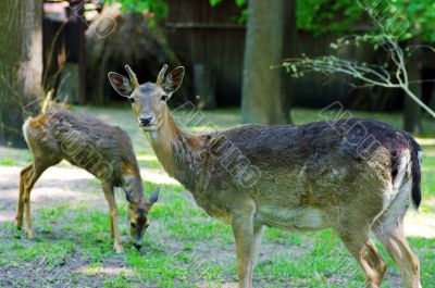 deer buck standing in an open field.