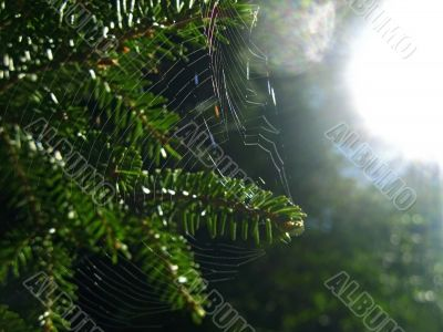 Fir pins and the spider