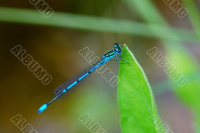 blue dragonfly on the pond