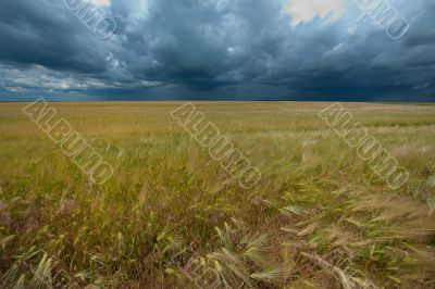 field with wheat and cloudy sky, hdr image