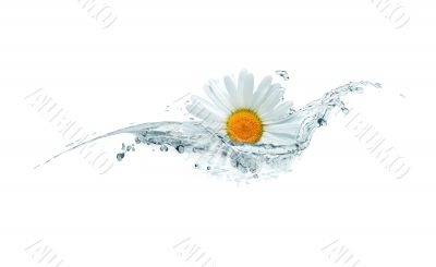 Daisy In Water