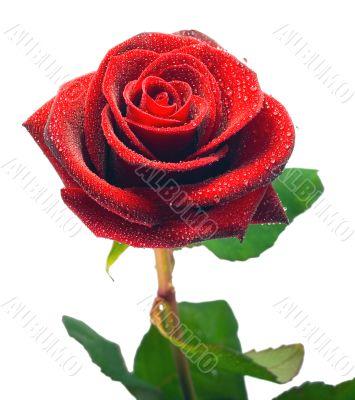 A Single blackenning rose,Isolated On  white background.