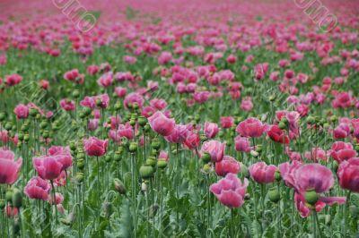 lots of poppy