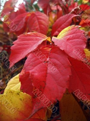 Red autumn leaves of the twisted plant