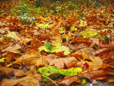 Carpet from the fallen maple leaves on the ground