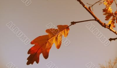 Red and yellow oak leaves on the branch