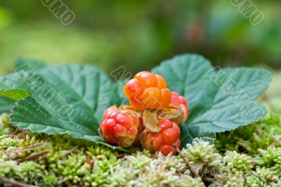 Cloudberry closeup in summer. Fresh wild fruit