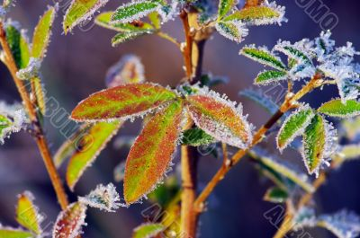 Frost leaves, frozen leaves at the morning.