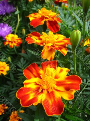 A beautiful flowers of Tagetes