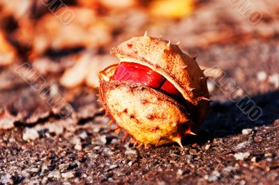 Single chestnut in the autumn forest
