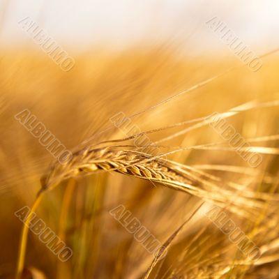 Closeup photo of a golden wheat in field