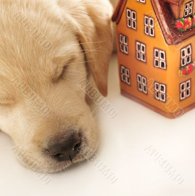 Portrait of a adorable labrador puppy, laying on white table wit