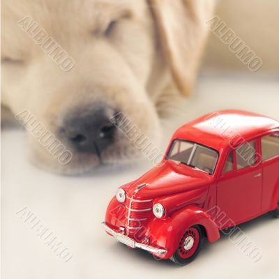 Car insurance concept. Little golden retriever puppy sleeping ne