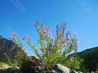 Pink flowers and mountain landscape. Caucasus summer