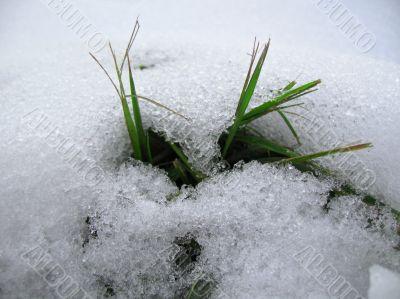 Green grass grow up under the snow