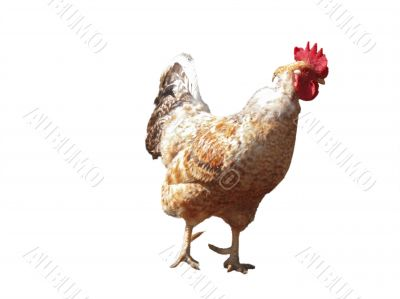Red and white cock on the white background isolated
