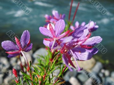 Pink flowers and river landscape. Caucasus summer